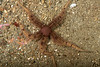 Flat-spined brittle star, Ophiopteris papillosa<br /> Golf Ball Reef, Palos Verdes, Los Angeles County, California