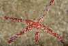 Fragile sea star, Linckia columbiae<br /> Haggerty's, Palos Verdes, California