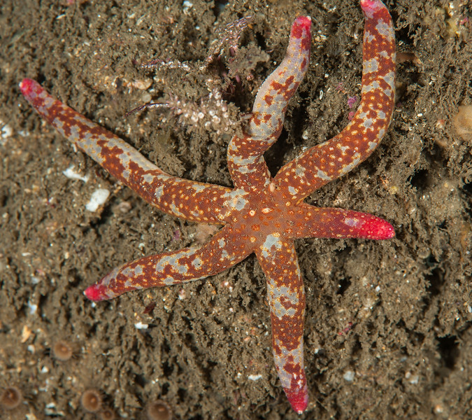 Fragile sea star, Linckia columbiae<br /> Haggerty's, Palos Verdes, California