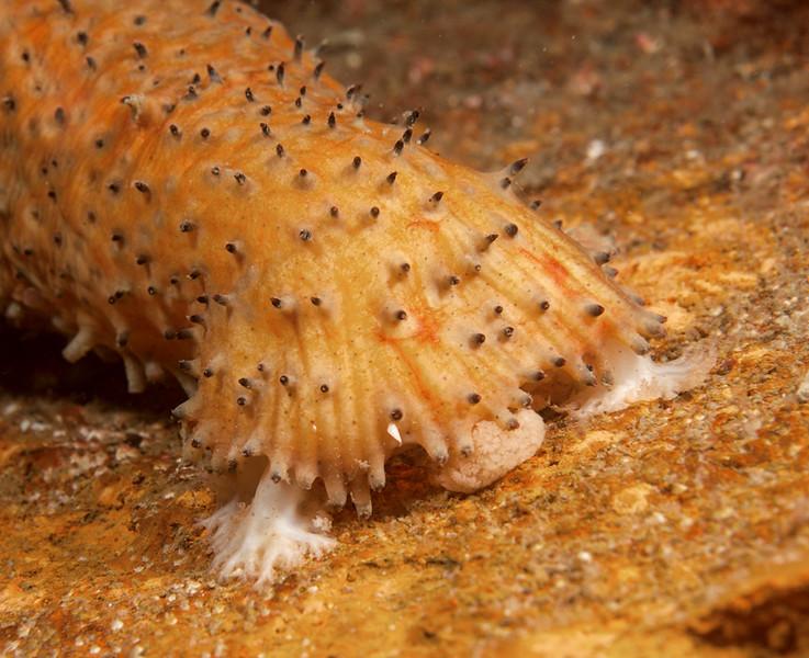 Warty Sea Cucumber - Parastichopus parvimensis