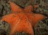 Six-arm bat star<br /> Halfway Reef, Palos Verdes, California