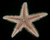 Spiny Sand Star, Astropecten armatus or verrilli - sea star