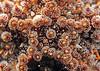 Astrometis sertulifera - Fragile Rainbow Star