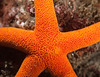 Blood star, Henricia sp., resembles Henricia cf. annectens, page 251, Beneath Pacific Tides, Jensen et.al., 2018.<br /> <br /> Golf Ball Reef, Palos Verdes, California