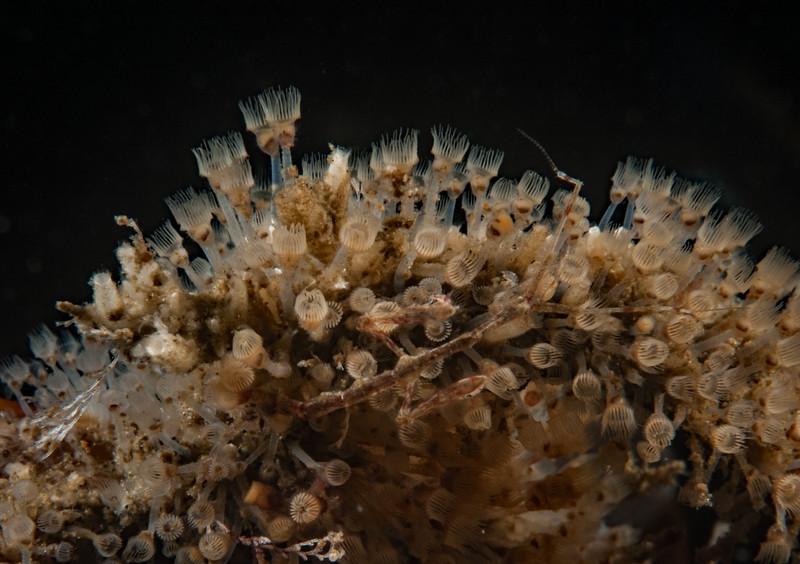 Entoproct, Barentsia sp.<br /> Torrance Reef, Los Angeles County, California