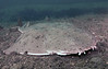 Angel shark<br /> Squatina californica<br /> Hermosa Artificial Reef, Hermosa Beach, California