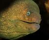 California moray eel<br /> Gymnothorax mordax<br /> Haggerty's Crane, Palos Verdes, California