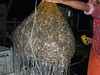 Pacific Hagfish<br /> Eptatretus stouti