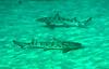 Leopard shark<br /> Triakis semifasciata