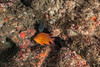 Garibaldi and California moray eel,<br /> Resort Point Reef, Palos Verdes, California