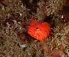 Yellowfin fringehead, Neoclinus stephensae<br /> Little Reef, Palos Verdes, California