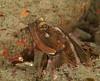 Sarcastic fringehead<br /> Neoclinus blanchardi