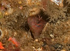 Rockpool blenny, Hypsoblennius gilberti