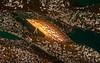 Juvenile giant kelpfish, Heterostichus rostratus<br /> Golf Ball Reef, Palos Verdes, California