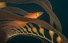 Juvenile giant kelpfish<br /> Heterostichus rostratus