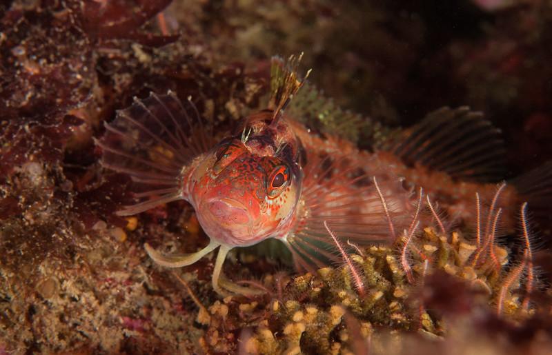 Island kelpfish, Alloclinus holderi