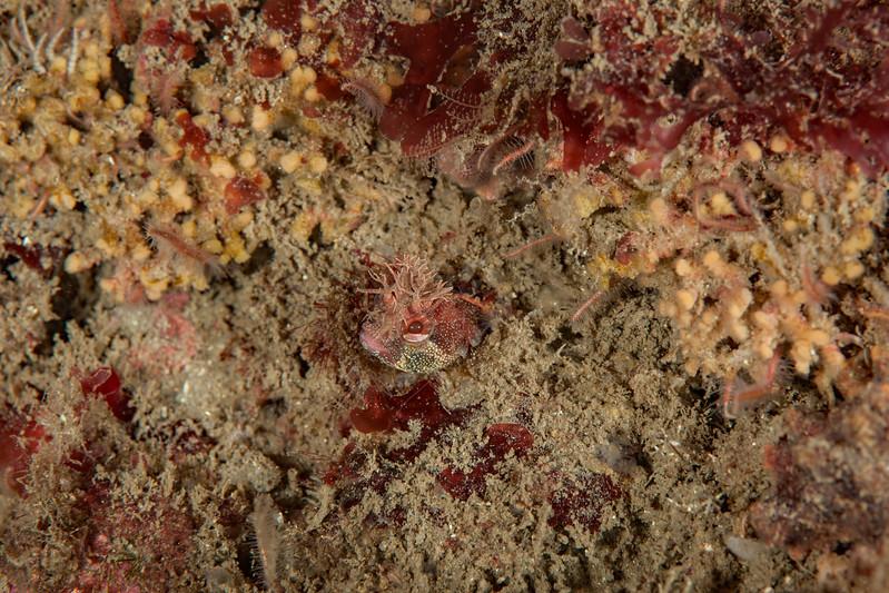 Yellowfin fringehead, Neoclinus stephensae<br /> Golf Ball Reef, Palos Verdes, California