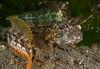 Onespot fringehead<br /> Neoclinus uninotatus