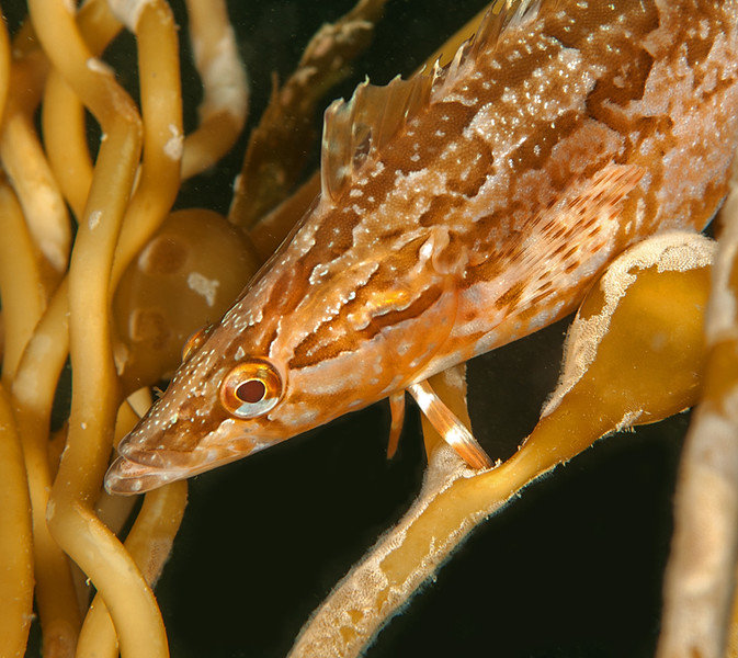 Giant Kelpfish, Heterostichus rostratus<br /> <br /> •Males tend to be brown, occasionally olive green, often striped or mottled.<br /> •Females can be brown, green or red, most often plain or barred.<br /> •Some fish, particularly females, have a white bar that runs from tip of snout along the head and between the eyes.<br /> •Can change pattern within a few seconds during courtship or territorial displays.