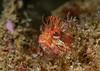 Yellowfin fringehead, Neoclinus stephensae<br /> Biodome (Reef), Palos Verdes, California