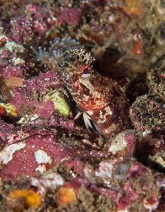 Yellowfin fringehead, Neoclinus stephensae Halfway Reef, Palos Verdes, California