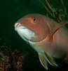 Sheephead Female (Initial Phase)<br /> Semicossyphus pulcher