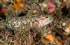 Bluebanded ronquil, Rathbunella hypoplecta<br /> Golf Ball Reef, Palos Verdes, California