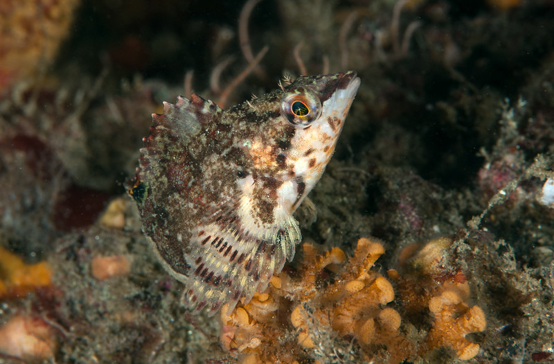 Painted greenling, Oxylebius pictus<br /> Golf Ball Reef West