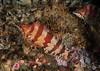 Painted greenling, Oxylebius pictus<br /> Halfway Reef, Palos Verdes, California