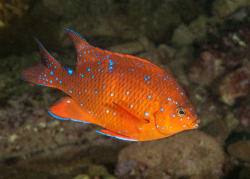 Garibaldi intermediate phase, Hypsypops rubicundus<br /> <br /> Subject has lost much of its brilliant blue spot on mid-upper back, which distinguishes it from the juvenile phase.