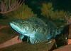Lincod<br /> Ophiodon elongatus<br /> Barge, Redondo Beach, California