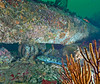 Lingcod at Hermosa Beach Artificial Reef