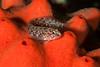 Bluebanded ronquil, Rathbunella hypoplecta on red volcano sponge, Acarnus erithacus<br /> Golf Ball Reef, Palos Verdes, California