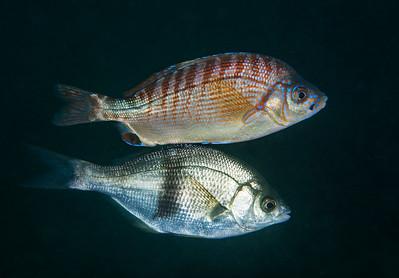 Pile perch, Rhacochilus vacca and rainbow seaperch, Hypsurus caryi  Golf Ball Reef, Palos Verdes, California