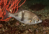 Pile Perch<br /> Rhacochilus vacca<br /> Surfperch family:  Embiotocidae