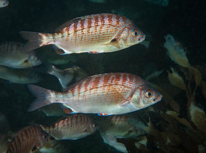 Rainbow seaperch, Hypsurus caryi<br /> Golf Ball Reef, Palos Verdes, California