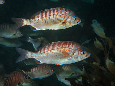 Rainbow seaperch, Hypsurus caryi Golf Ball Reef, Palos Verdes, California
