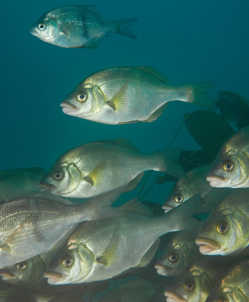 Rubberlip Seaperch and a Pile Perch<br /> Rhacochilus toxotes<br /> Surfperch family:  Embiotocidae