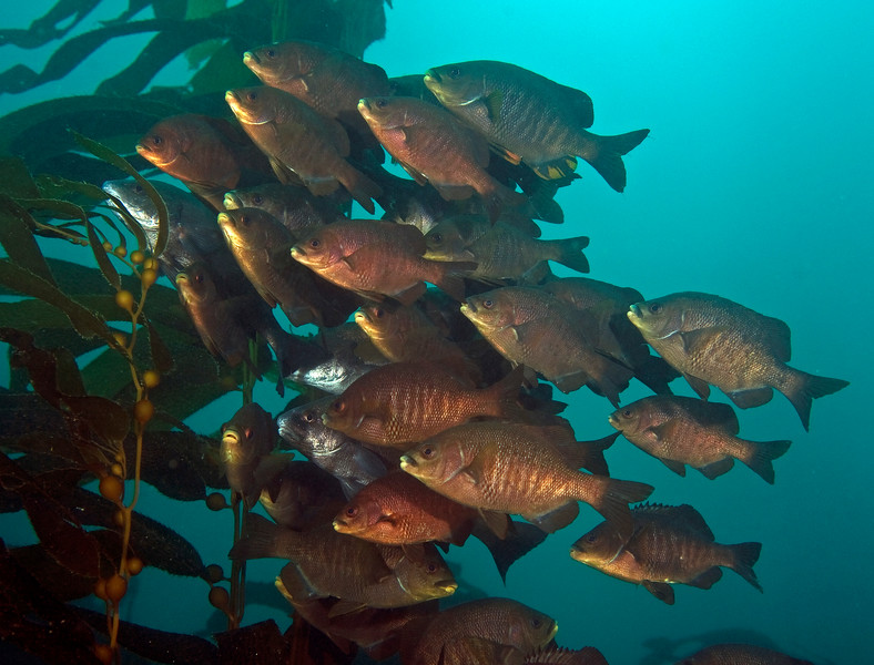 Black surfperch with a few black croakers<br /> Embiotoca jacksoni<br /> Surfperch family:  Embiotocidae