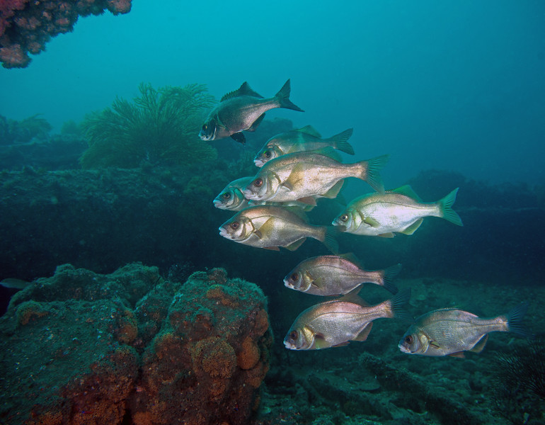 Rubberlip Seaperch<br /> Rhacochilus toxotes<br /> Surfperch family:  Embiotocidae