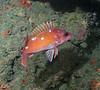 Rosy Rockfish<br /> Sebastes rosaceus<br /> Hawthorne Reef, Palos Verdes, California