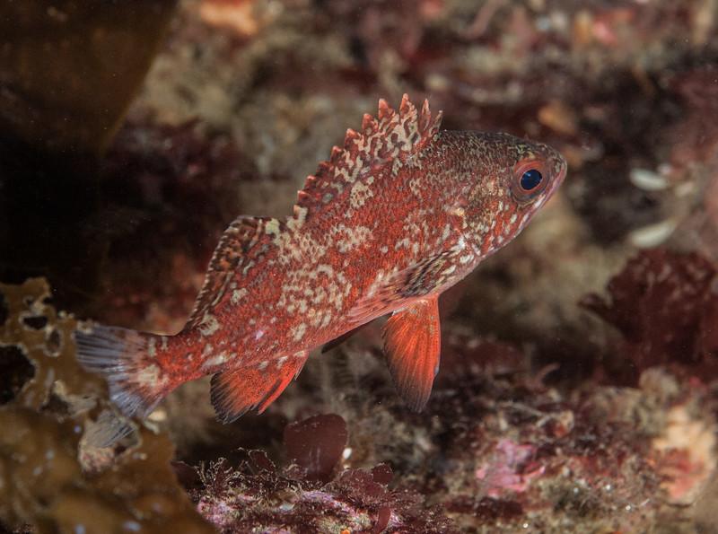 "Juvenile vermilion rockfish, ~3""<br /> Golf Ball Reef, Palos Verdes, California"