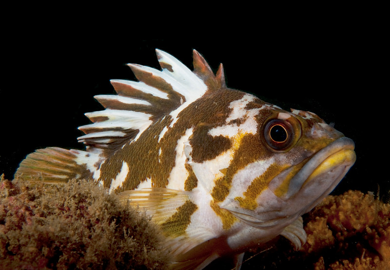 Gopher Rockfish<br /> Sebastes carnatus