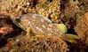 Gopher Rockfish Juvenile<br /> Sebastes carnatus