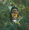 Black-and- Yellow Rockfish<br /> Sebastes chrysomelas