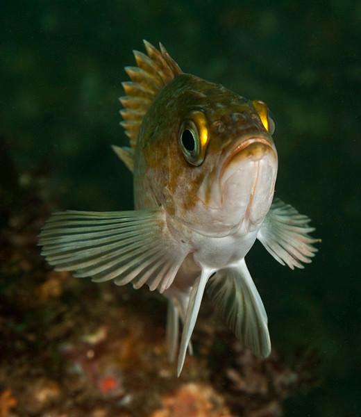 Kelp Rockfish<br /> Sebastes atrovirens