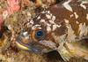 Gopher rockfish<br /> Sebastes carnatus<br /> Halfway Reef, Palos Verdes, California