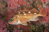 Honeycomb Rockfish<br /> Sebastes umbrosus<br /> Hawthorne Reef, Palos Verdes, California