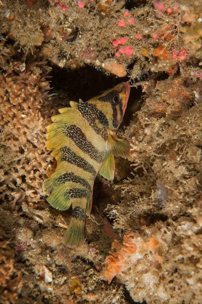Juvenile treefish sheltering from the current.  Sebastes serriceps