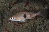 Juvenile halfbanded rockfish, Sebastes semicinctus<br /> Golf Ball Reef, Palos Verdes, California